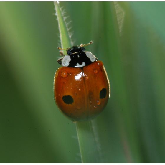 Votre bo te de 50 larves de coccinelle adalia europ enne - Traitement naturel contre les pucerons ...