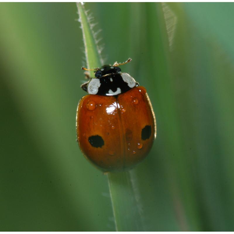Votre bo te de 50 larves de coccinelle adalia europ enne anti pucerons - Produit naturel contre les pucerons ...