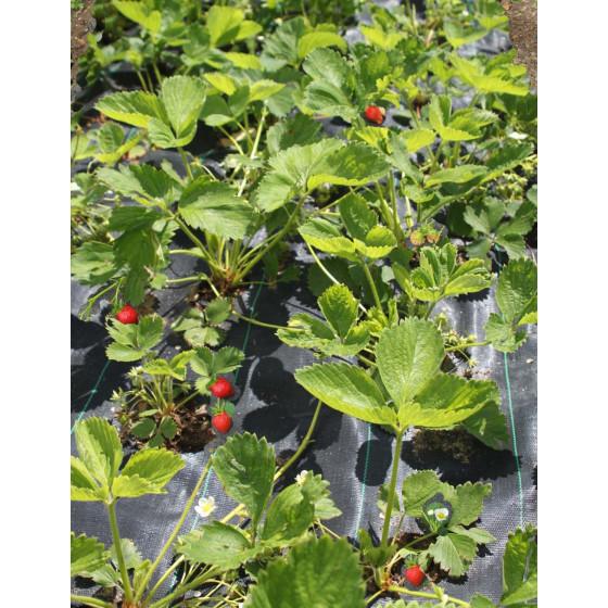 Toile de paillage perforée fraisiers 1,05 m