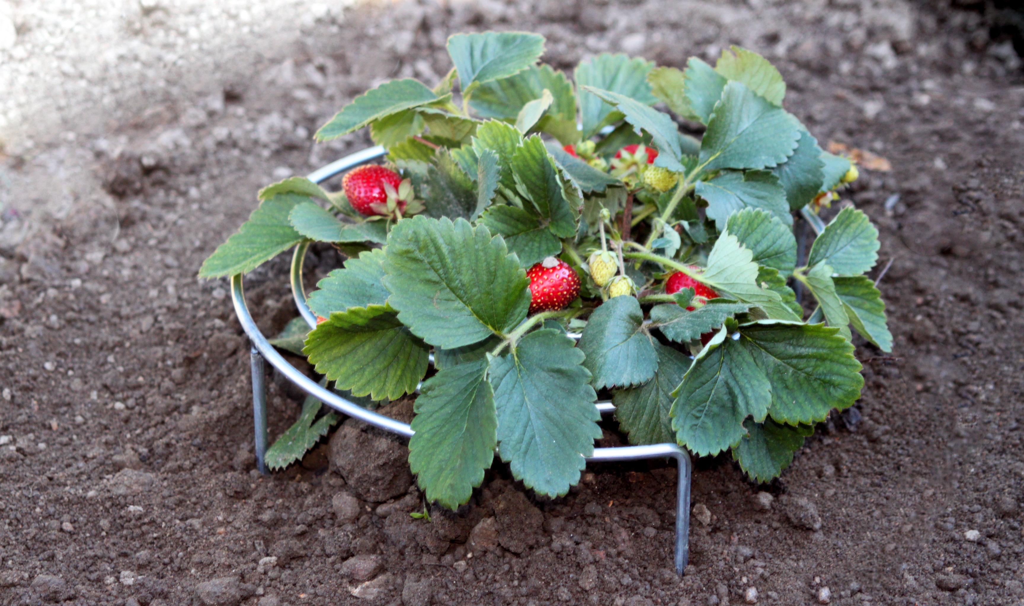 Comment Entretenir Les Fraisiers En Automne comment planter des fraisiers début automne et les